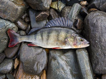 Perch, bass, freshwater fish. On stones royalty free stock image