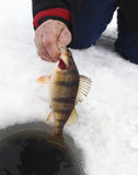 Perch being pulled from a ice fishing hole Royalty Free Stock Photos