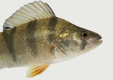 Perch body- isolated. Live fish photo in aquarium Royalty Free Stock Photography