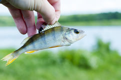 Perch. Catch fresh fish from the morning fishing on a lake in summer Stock Photo