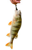 Perch caught on bait Royalty Free Stock Image