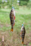Perch caught in fishing fly. Two perch caught on a bait fishing fly close-up Stock Photography