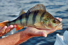 Perch caught in the hand. Perch caught fish in the fisherman's hand Royalty Free Stock Images