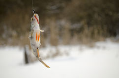 Perch Royalty Free Stock Photography