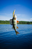 Perch caught on the hook. Perch caught in the lure on the background of the lake Royalty Free Stock Image