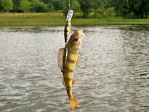 Perch caught on the hook. Stock Images