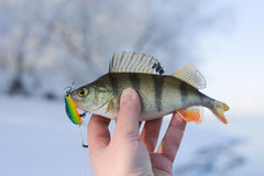Perch caught on plastic twitchbait Royalty Free Stock Photography