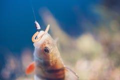Perch caught on a soft bait stock photos