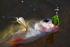 Perch caught on spinning Royalty Free Stock Image