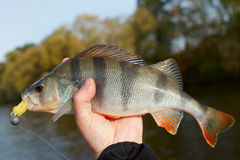 Perch caught on sunny day Royalty Free Stock Photo
