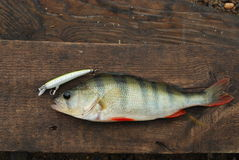 Perch caught on wobbler Royalty Free Stock Photo