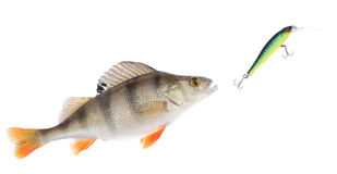 Perch chasing minnow hardbait isolated on white Royalty Free Stock Photography