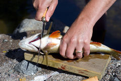 Perch cleaning Stock Photos