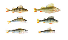 Perch collection isolated Royalty Free Stock Images
