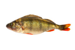 Perch. European perch - isolated on a white background royalty free stock photos