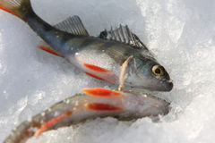 Perch, excellent fishing Stock Image