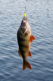 Perch, excellent fishing! Stock Photography