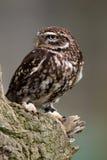 perch för liten owl Royaltyfri Fotografi