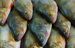 Perch fish background stock image