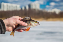 Perch fish in hand fisherman. Big perch fish in hand fisherman on the background of the pond stock photo