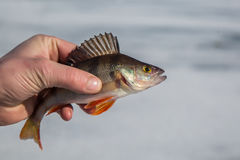 Perch fish in hand fisherman. Big perch fish in hand fisherman on the background of the pond royalty free stock photography