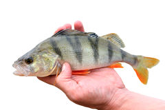 Perch fish Royalty Free Stock Images