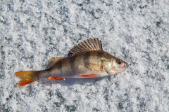 Perch fish on the ice. Middle perch fish on the ice stock photography