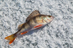 Perch fish on the ice. Middle perch fish on the ice Stock Image