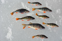 Perch fish on the ice Stock Image