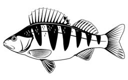 Free Perch Fish Illustration Royalty Free Stock Images - 163871279