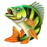 Perch Fish Illustration. Perch fishing. Isolated on white background.