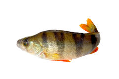 Perch fish. Perch fish isolated on white background. Close-up royalty free stock photos