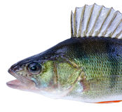 Perch fish portrait Stock Photo
