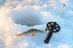 Perch fish with rod lying on the ice, closeup. Winter fishing. Perch fish with rod lying on the ice, closeup. Winter fishing Stock Images