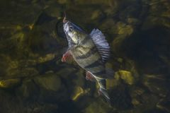 Free Perch Fish Trophy In Water. Fishing Background Stock Photography - 158991672