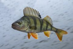 Perch fish isolated on natural water background royalty free stock photo