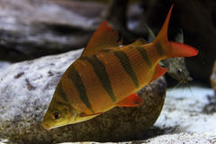 Perch fish underwater. Perch fish with black stripes on scaly body, red fins and tail swims near overgrown stones, diving, underwater wildlife Stock Images