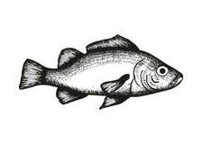 Perch fish vector sketch Royalty Free Stock Image