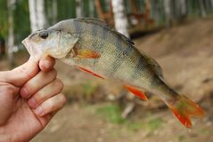 The perch in fisherman hand Stock Images