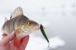 Perch in fisherman's hand Royalty Free Stock Photo