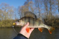 Perch in fisherman`s hand, autumn Stock Images