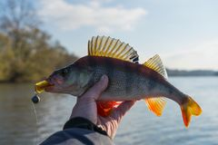 Perch in fisherman`s hand Royalty Free Stock Photography