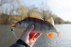 Perch in fisherman`s hand Stock Photography