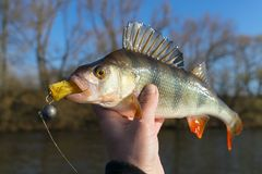 Perch in fisherman`s hand Stock Photos