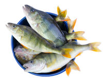 Perch fishes in a bowl Stock Photography