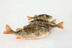 On a perch  fishing Royalty Free Stock Photo