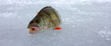 Perch fishing 4 Royalty Free Stock Photo