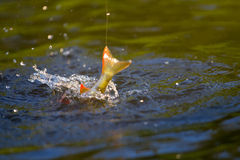 Perch fishing action with spray Royalty Free Stock Images
