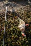Perch fishing Northern fish Stock Photography