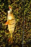 Perch fishing Northern fish Stock Photo